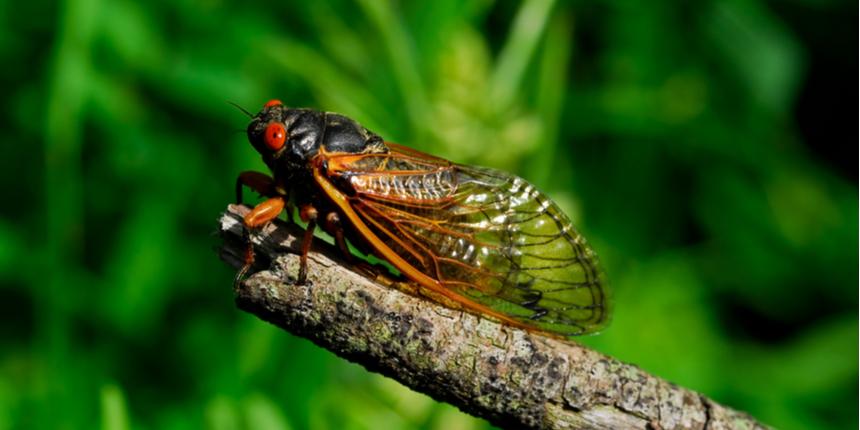 NEHU scientists discover Nagaland's first cicada species