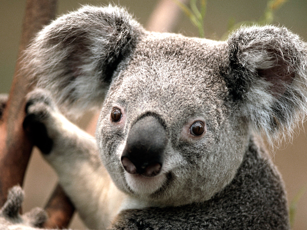 https://cache.careers360.mobi/media/colleges/social-media/media-gallery/908/2018/9/7/Koala.jpg