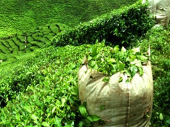 NBU First University In India To Offer Undergraduate Course On Tea Sciences: Official