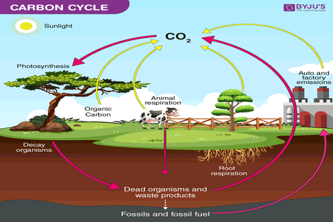 write a short note on global carbon cycle with the help of
